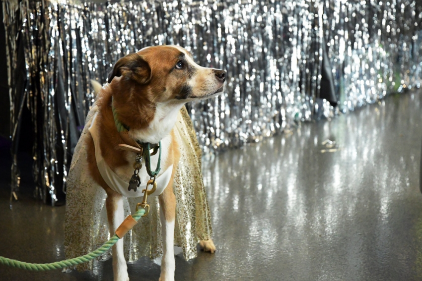 Bailey, a 13-year-old rescue dog, sports a sequin skirt at the BARC Senior Prom on May 31. Bailey has been the faithful companion to BARC Adoptions Coordinator Lynette Bodmer for several years.